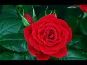 Psicologo Online - Esercizio Sbocciare di una Rosa